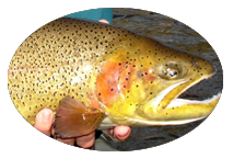 Cutbow Trout on the San Juan River in New Mexico
