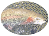 Rainbow Trout on the San Juan River